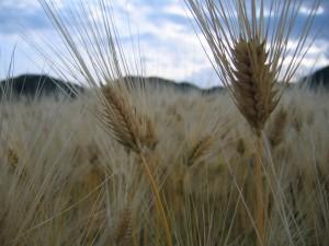 麦を見るとはだしのゲンという漫画を思い出す。